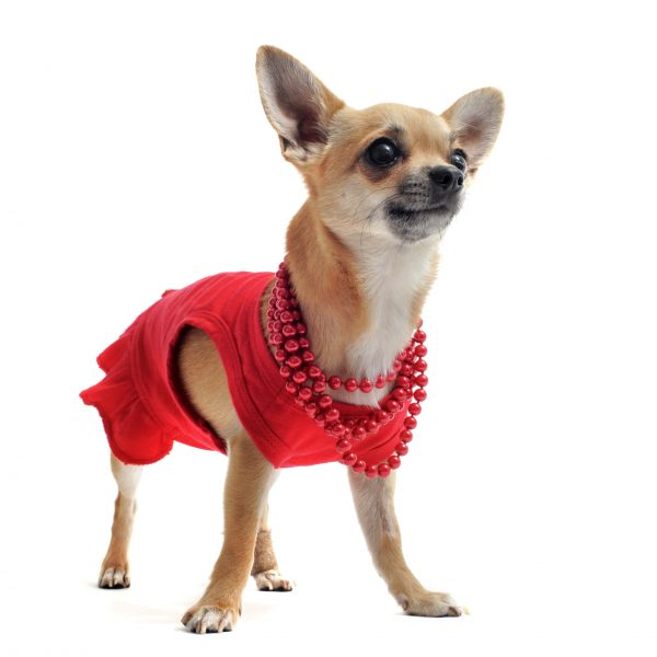 purebred chihuahua dressed in front of white background