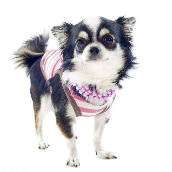 portrait of a cute purebred  chihuahua with Tshirt in front of white background